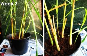 Cách trồng cây sả: vừa làm cảnh, vừa đuổi muỗi
