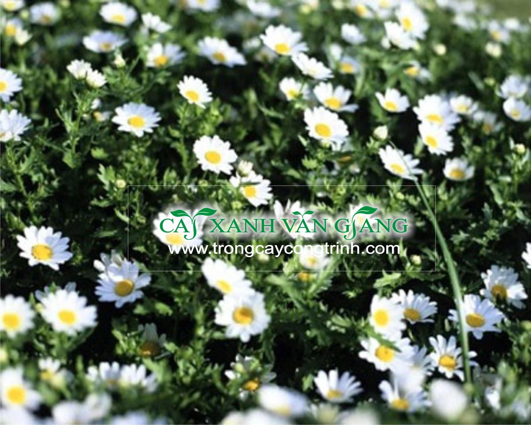cuc hoa nho 3