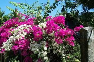 Làm sao để trồng cây hoa (bông) giấy ra hoa quanh năm