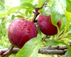 Kĩ thuật trồng và chăm sóc cây Mận – cây nên có trong vườn nhà