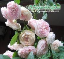 hoa hong ngoc lung linh 02
