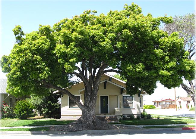 ll-cây long lão trồng trước nhà