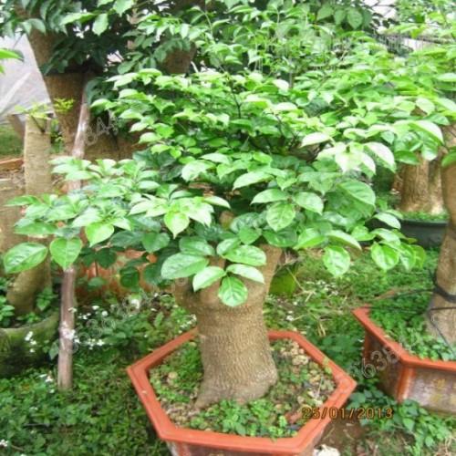 cay-hanh-phuc (1)
