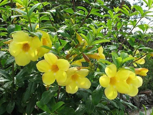 hoa-hoang-thao