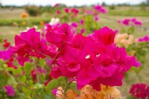 Hướng dẫn trồng cây hoa giấy để cây ra hoa quanh năm