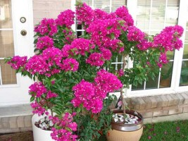 Cách chăm sóc hoa giấy để hoa nở quanh năm và tươi tốt