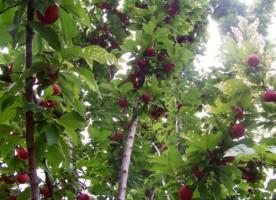 Kỹ thuật trồng và chăm sóc cây Bồ quân