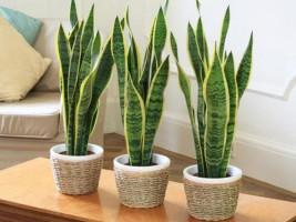 15 loại cây trồng trong nhà làm sạch không khí cực tốt