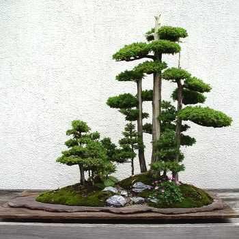 trồng cây Bonsai trông khay dĩa