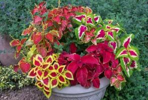 Những loại cây hoa công trình phổ biến