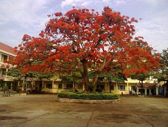 cây phượng vĩ và tuổi học trò