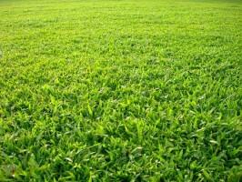 Kỹ thuật chăm sóc và duy trì tuổi thọ của cỏ công trình – cỏ Lá Gừng