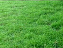 Kỹ thuật trồng và chăm sóc cỏ Nhung Nhật – Cỏ trồng công trình