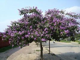 Những loại cây xanh công trình được trồng nhiều trên vỉa hè