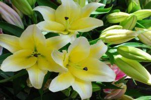 Hoa ly concador là gì? Cách phân biệt hoa ly concador với giống ly khác